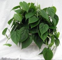 Heart Leaf Philodendron