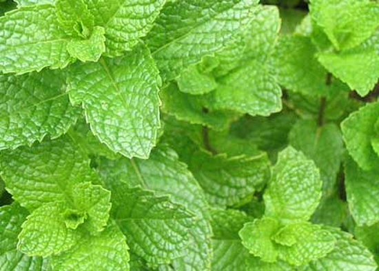 Spearmint Leaves