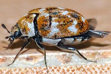 Adult Varied Carpet Beetle