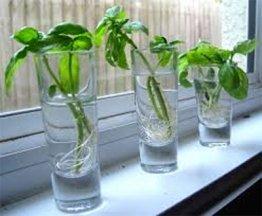 Herbs Growing in Water on Windowsill
