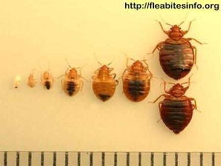 Bedbugs-Eggs to Adult