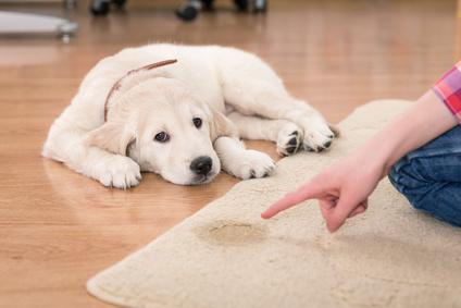 dog pee on rug