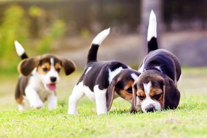 Puppies Eating Grass