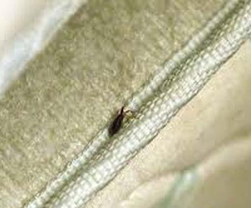 Bedbugs in Mattress