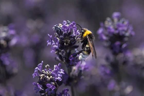 Bees on Lavendar Plant