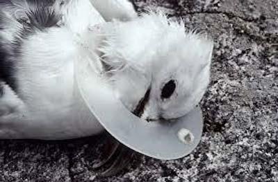 bird imprisoned by plastic