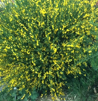 Broom Bush