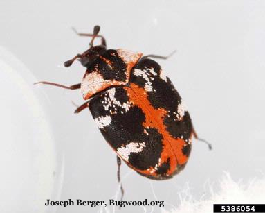 Common Carpet Beetle (Buffalo Carpet Beetle)