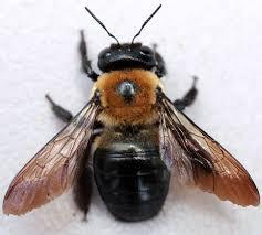 The Carpenter Bee