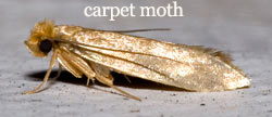 Carpet & Rug Moth