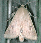 Case Making Moth