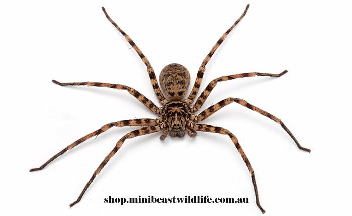 Cave Huntsman Spider