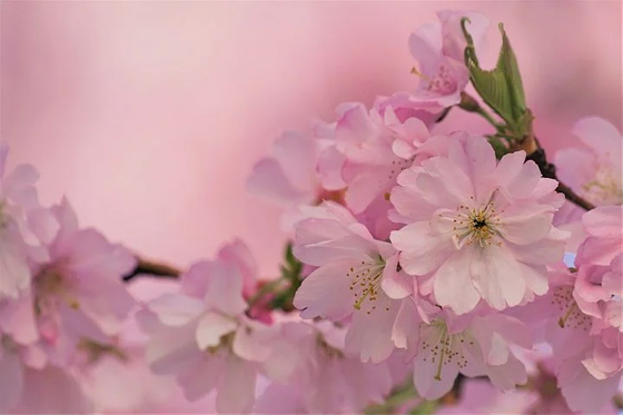 Cherry Blossoms on Tree
