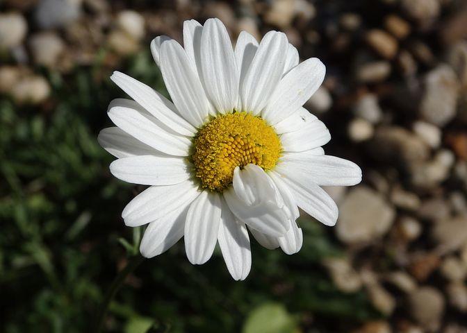 Daisy Mutation