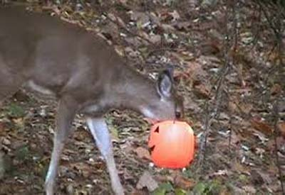 deer with jack o lantern on head