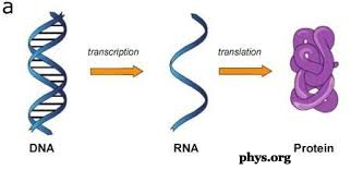 DNA to RNA to Protein