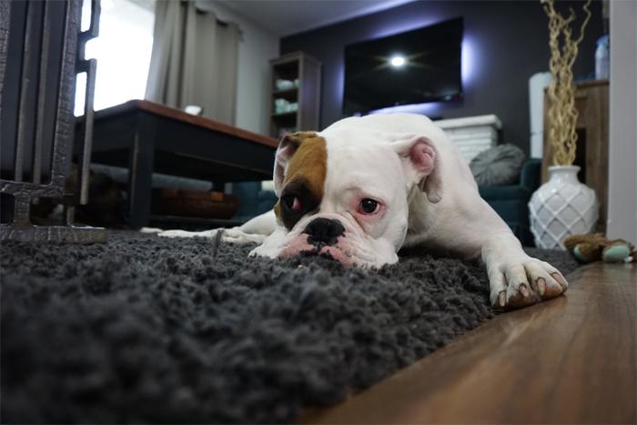 Dog on Shag Rug