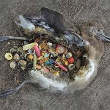 plastic inside dead bird