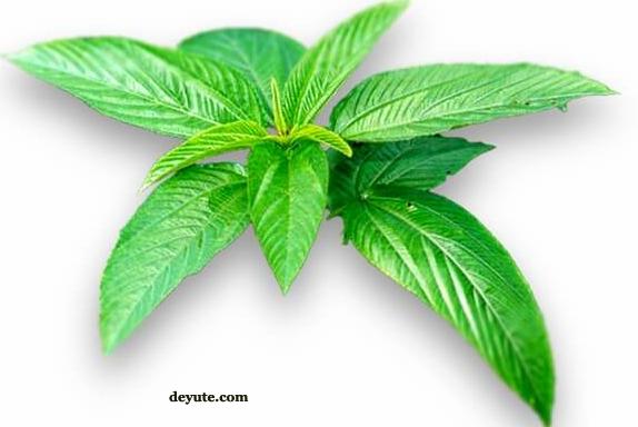 Jute Leaves