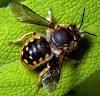 The Leaf Cutting Bee