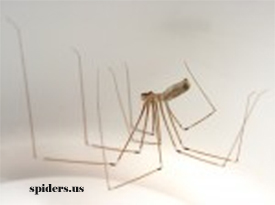 Long Bodied Cellar Spider