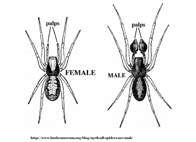 Female and Male Spiders