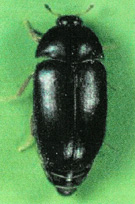 Carpet Beetle - Black