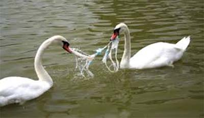 swans caught in plastic