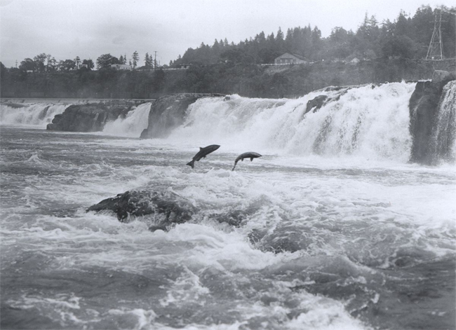 Salmon Leaping at Willamette Falls, Oregon