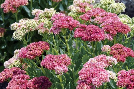 Sedum Flowers
