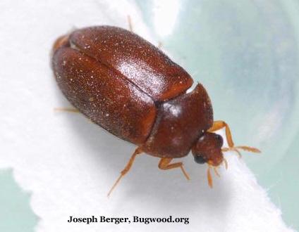 Adult Black Carpet Beetle