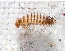 Furniture Beetle Larva