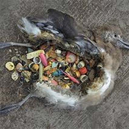 plastic inside dead bird