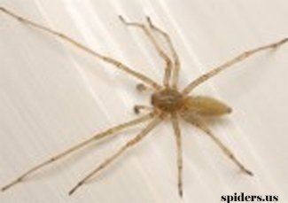 Long Legged Sac Spider
