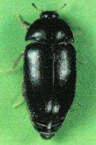 Carpet Beetle - Black